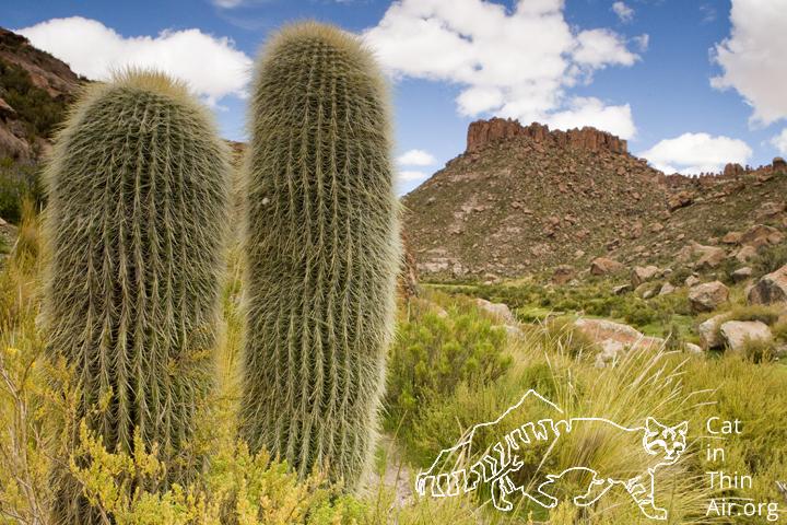 Cacti in canyon in the Altiplano, Ciudad de Piedra, western Bolivia