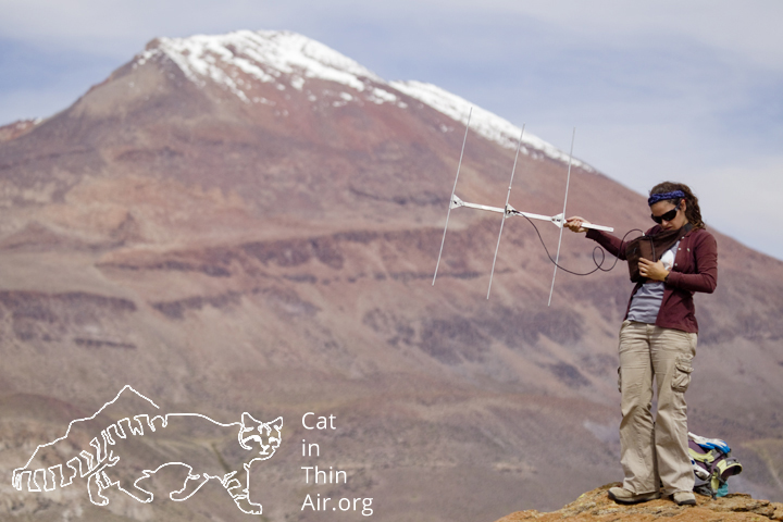 Cintia Tellaeche trying to locate female Andean Cat through telemtry to download data, Andes, northwestern Argentina