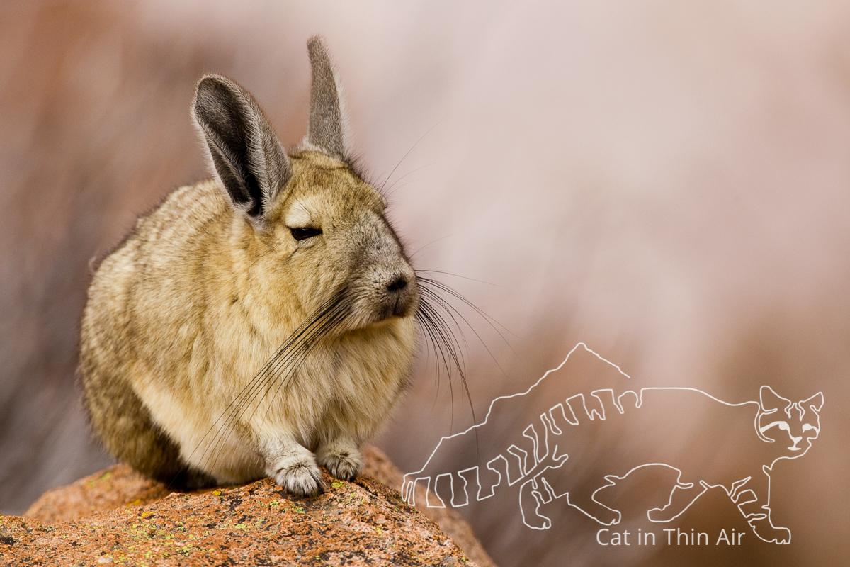 Southern Viscacha (Lagidium viscacia), Ciudad de Piedra, Andes, western Bolivia