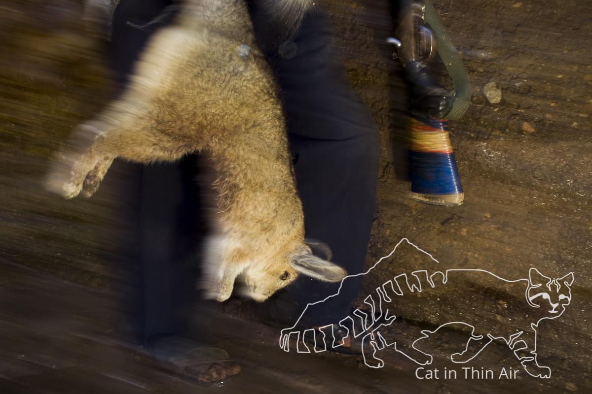 Southern Viscacha (Lagidium viscacia) killed by hunter, the viscacha is the principal prey of the Andean cat, Ciudad de Piedra, Andes, western Bolivia