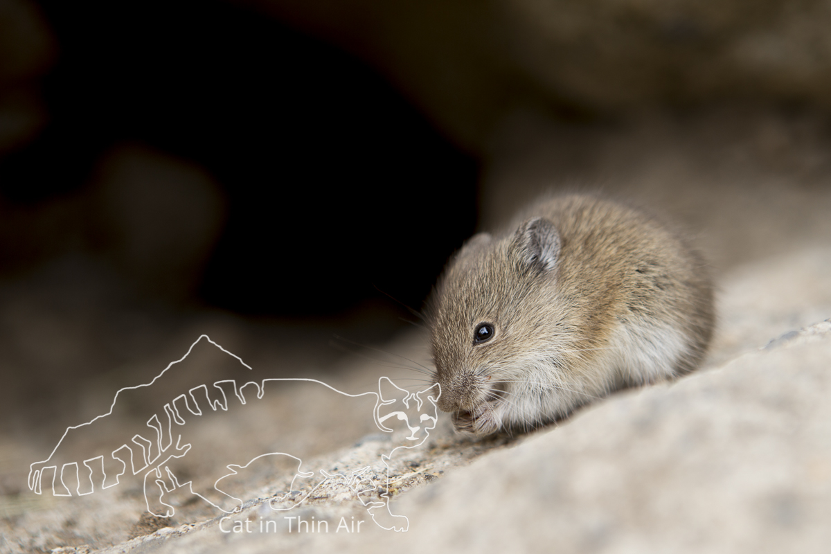 White-bellied Grass Mouse (Akodon albiventer) feeding, Abra Granada, Andes, northwestern Argentina